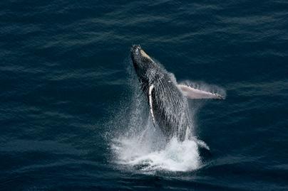 Baleine au large de Port-Gentil, province de l'Ogooué-Maritime, Gabon (0°32' S - 8°52'E).